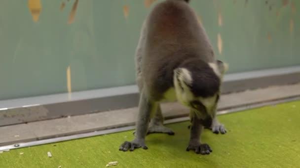 Ring-tailed Lemur screams. Lemur tropical animal
