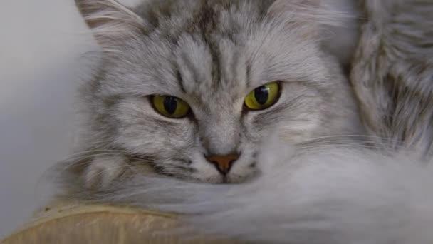Graue Katze blickt in die Kamera. Die Katze liegt ruhig und schaut aus nächster Nähe.
