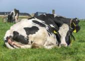 Fekete foltos tehén guggolva fekszik, kancsal szemmel.
