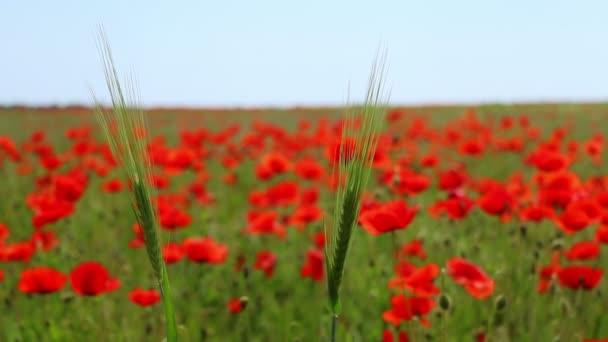 Dva klas kukuřice a pole kvetoucí červené vlčí máky