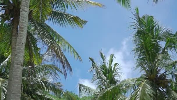 Indonesien. Regenwald bei sonnigem Wetter. Blick nach oben. Wolken am blauen Himmel und Kokospalmen mit Blättern und Nüssen