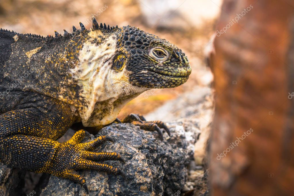 Galapagos Islands - August 24, 2017: Endemic Land Iguana in Plaza Sur island, Galapagos Islands, Ecuador