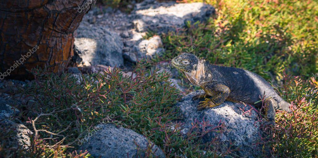 Galapagos Islands - August 24, 2017: Endemic Land Iguana in Plaza Sur island, Galapagos Islands, Ecuador