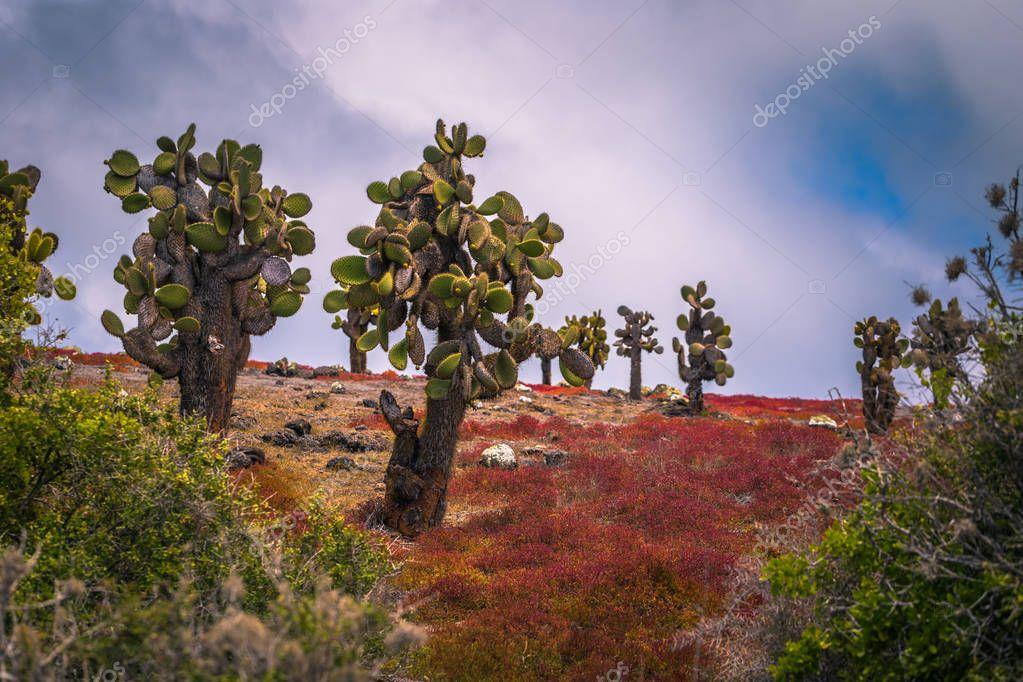 Galapagos Islands - August 24, 2017: Endemic cactus trees in Plaza Sur island, Galapagos Islands, Ecuador