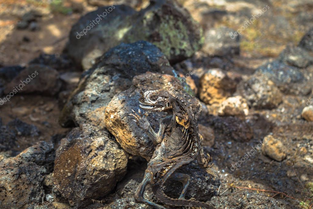Galapagos Islands - August 24, 2017: Dead Land Iguana in Plaza Sur island, Galapagos Islands, Ecuador