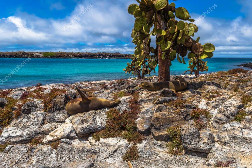 Galapagos Islands - August 24, 2017: Sealions in Plaza Sur island, Galapagos Islands, Ecuador