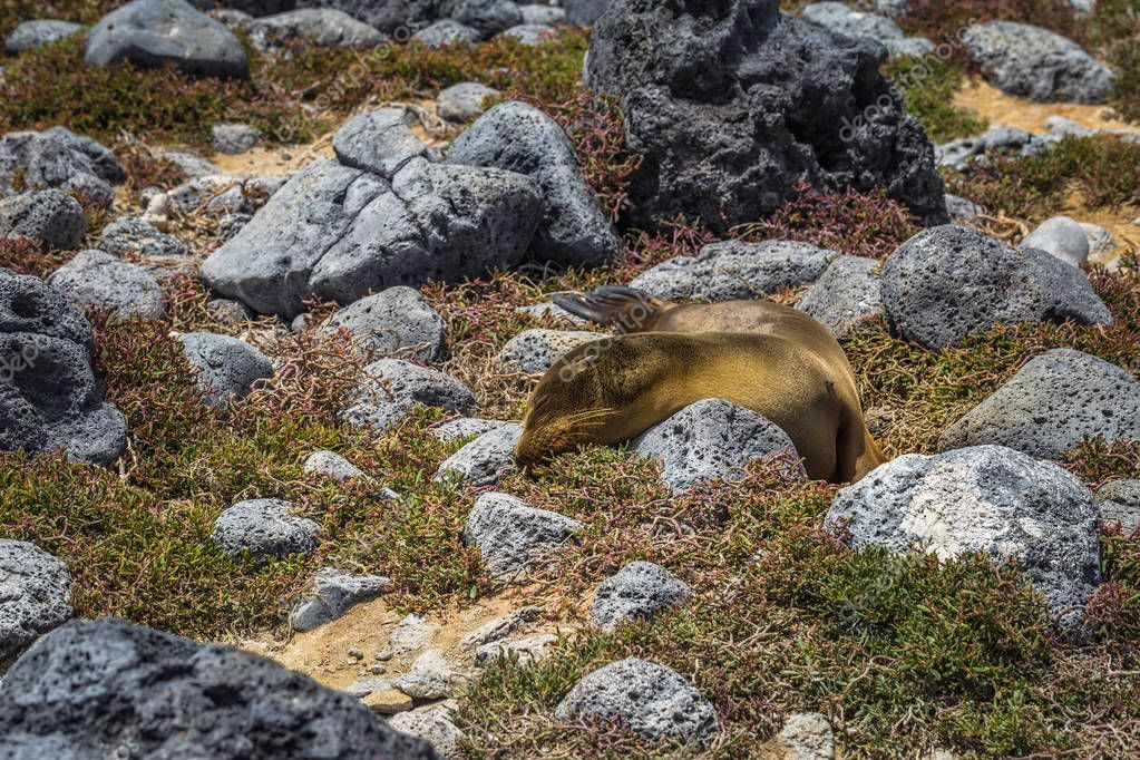 Galapagos Islands - August 24, 2017: Sealions in Plaza Sur island, Galapagos Islands, Ecuador