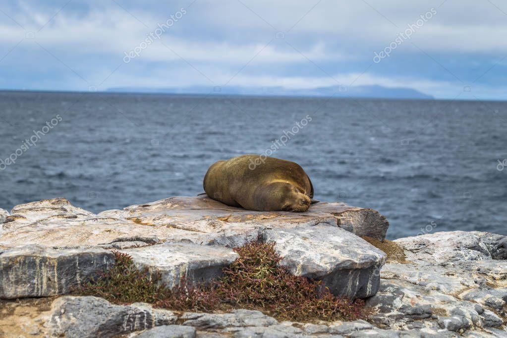 Galapagos Islands - August 24, 2017: Sealion sleeping in Plaza Sur island, Galapagos Islands, Ecuador