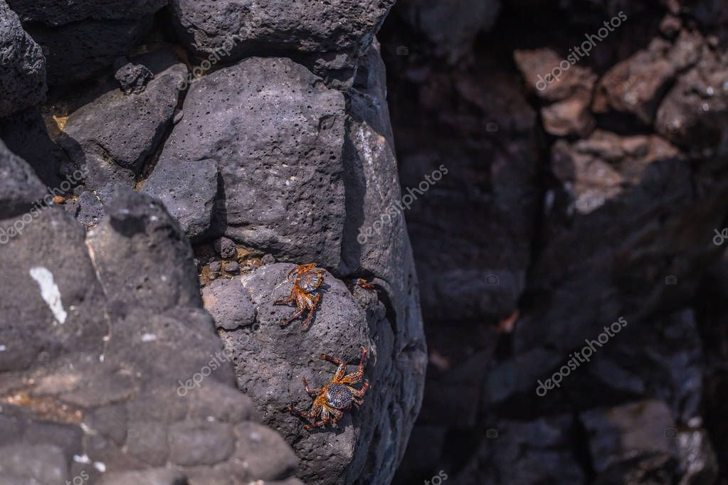 Galapagos Islands - August 24, 2017: Crabs at the coast of Plaza Sur island, Galapagos Islands, Ecuador