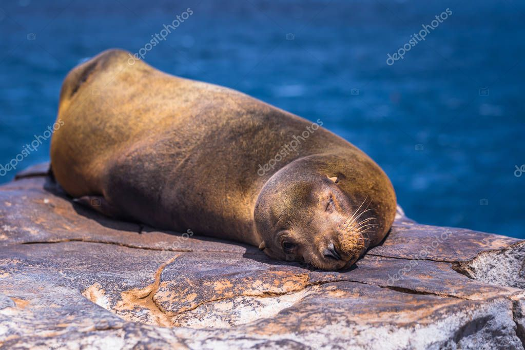 Galapagos Islands - August 24, 2017: Sealion sleeping in Plaza Sur island, Galapagos Islands, Ecuador