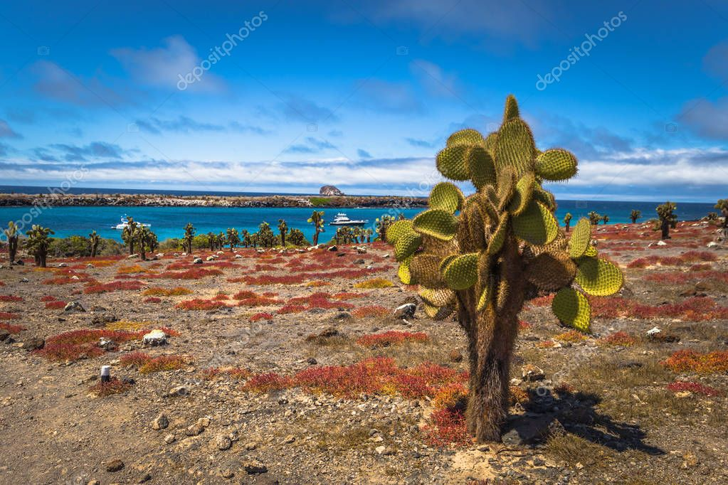 Galapagos Islands - August 24, 2017: Endemic cactuses in Plaza Sur island, Galapagos Islands, Ecuador