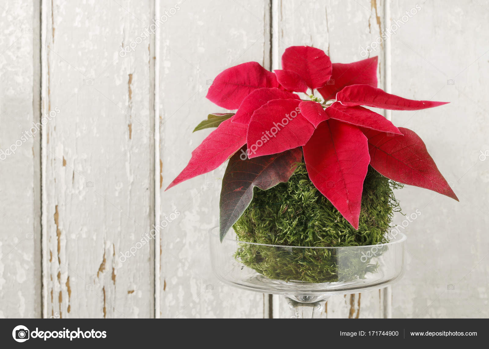Florist at work: How to make christmas table decoration with red poinsettia flower and moss ball. Step by step, tutorial. — Photo by agneskantaruk