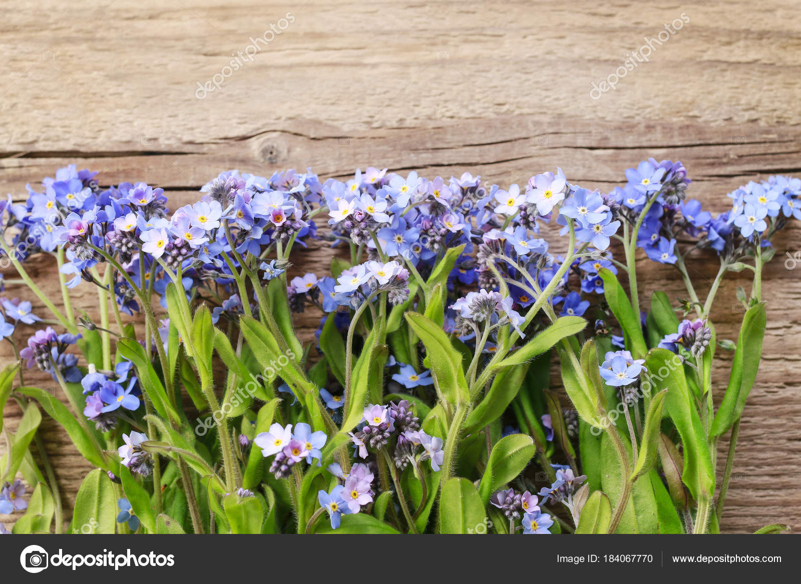 Forget me not flowers on wooden background stock photo forget me not flowers on wooden background stock photo izmirmasajfo