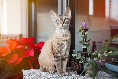 Beautiful Devon Rex cat is sitting on a nice balcony. Cat is enjoying to be on a terrace in fresh air. Winter and Christmas coming soon. Christmas decoration