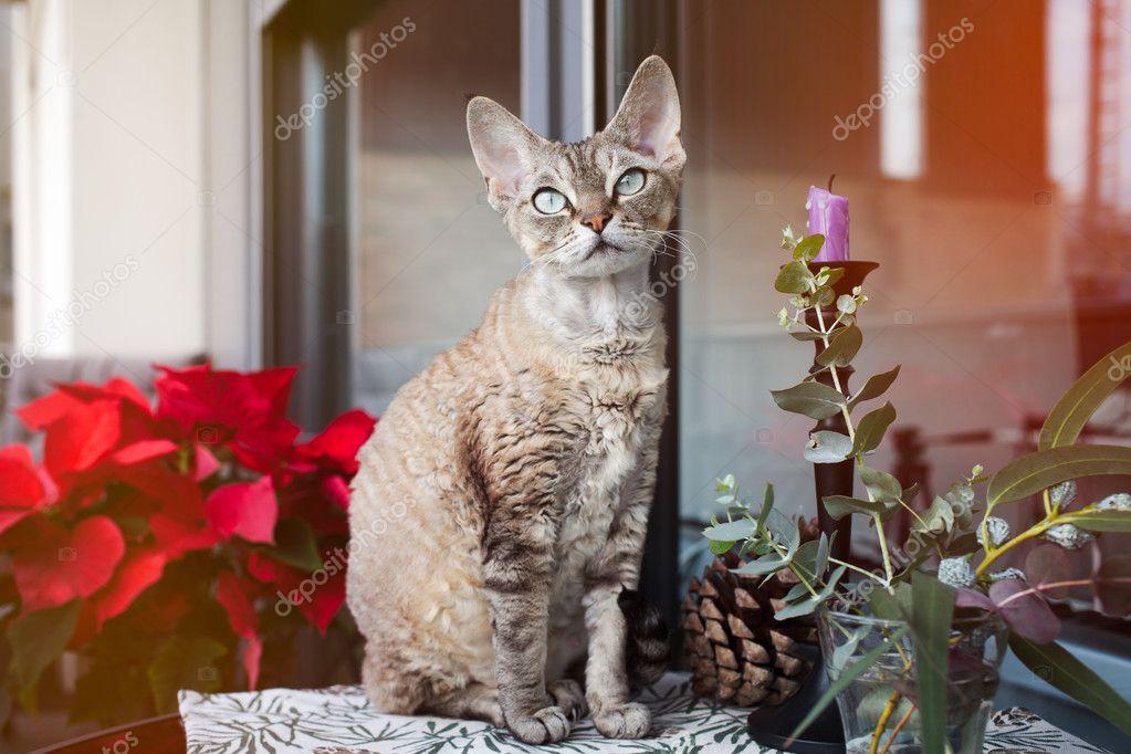 Een Winters Balkon : Mooie devon rex kat zit op een mooi balkon kat is genieten van te