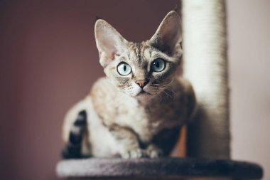 Portrait of a beautiful Devon Rex cat looking at the camera, natural light shoot, nice shadows.