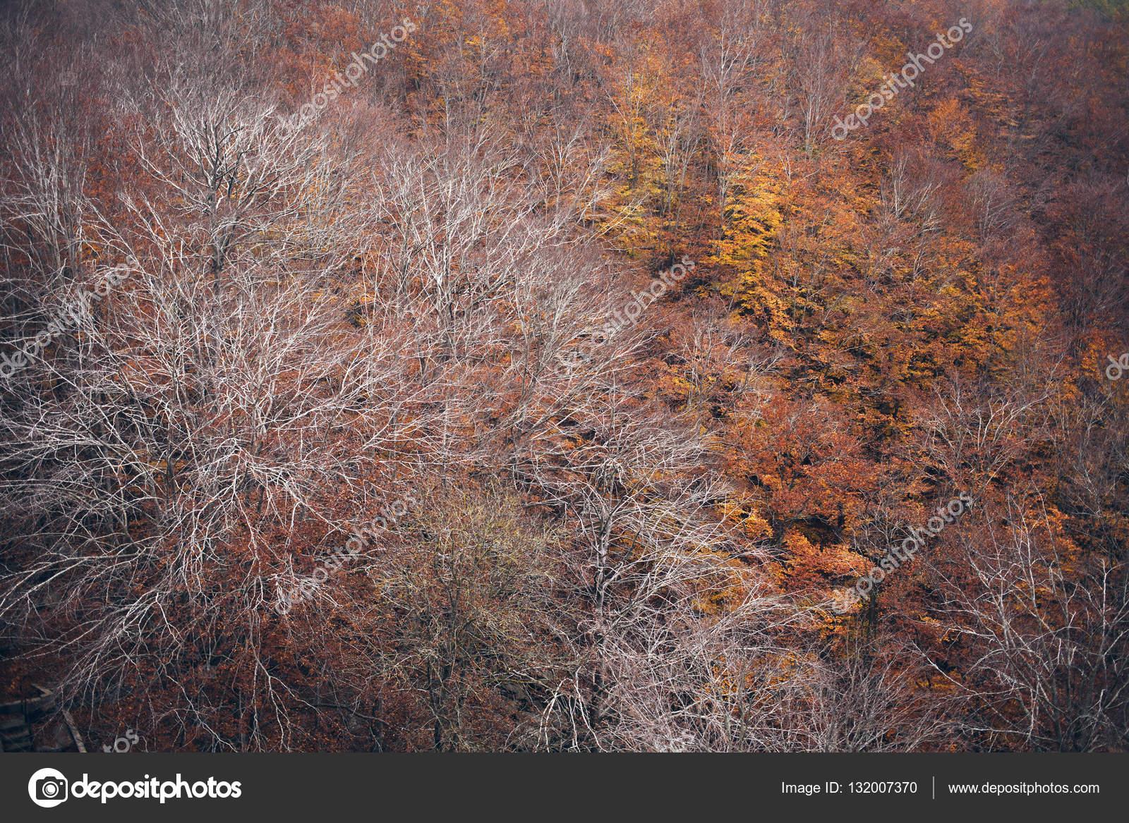 Árboles de bosque de otoño / invierno con hojas de color rojos y ...