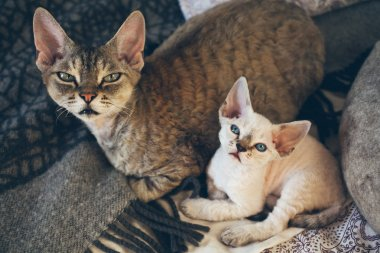 Portrait of adorable Devon Rex cat mother with her small baby kitten are laying down on the bed together.