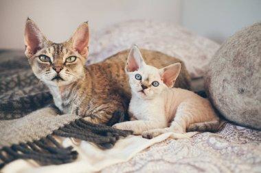 Devon Rex cat and kitten. Love and tenderness.