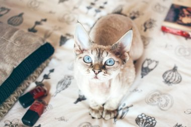 Pretty little cute Devon Rex cat is sitting on the bed and wants your attention for hugs and play.
