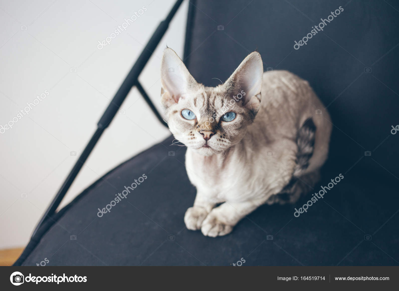 Devon Rex Kot Z Cute Twarz I Piękne Niebieskie Oczy Zdjęcie