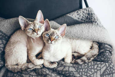 Two adorable and funny Devon Rex cats with blue eyes