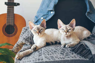 Two Devon Rex cats with sleepy faces are laying down together on the soft wool blanket and looking at camera.