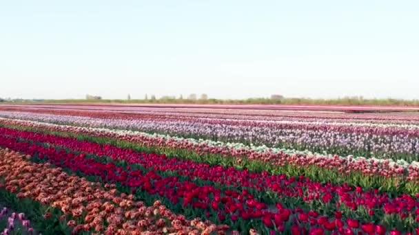 Nízký létající dron 4k video z pole s různými typy tulipánů zasazených v řadách a s pěkným kontrastem