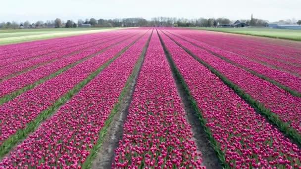 Snímky 4K dronů z pole s purpurovými tulipány v řadě, na holandském jaře
