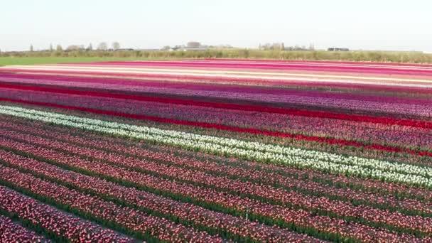 Úžasný letecký pohled na barevné kvetoucí pole tulipánů. Barvy vypadají jako cukrová třtina. 4K dron