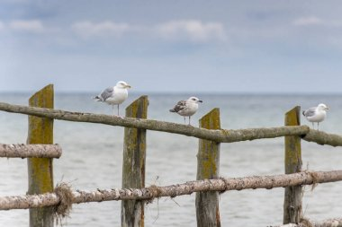Seagulls stand on a wooden barrier in front of the sea