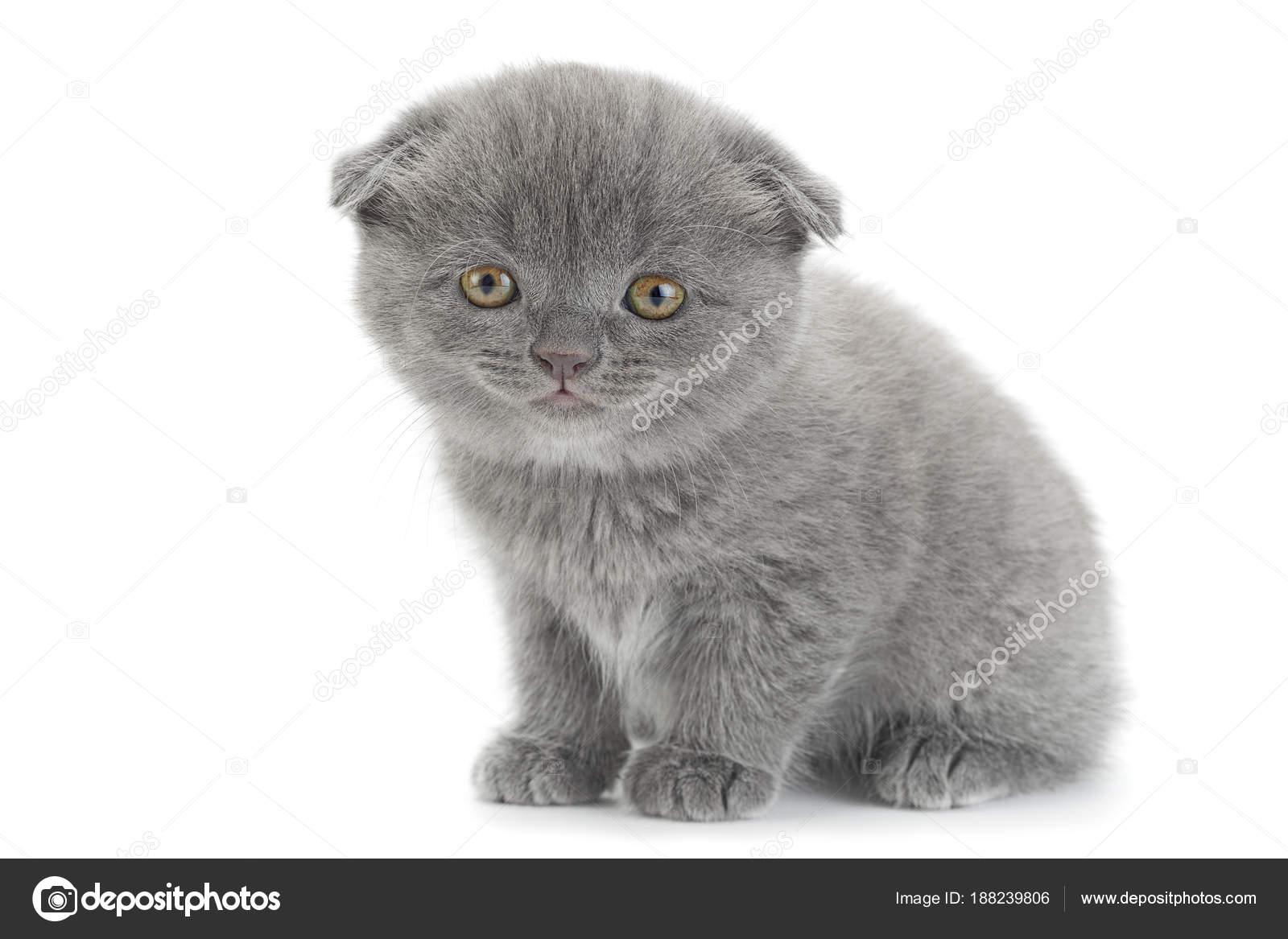 Scottish Fold Gray Cat Stock Photo C Jimbo3904 188239806