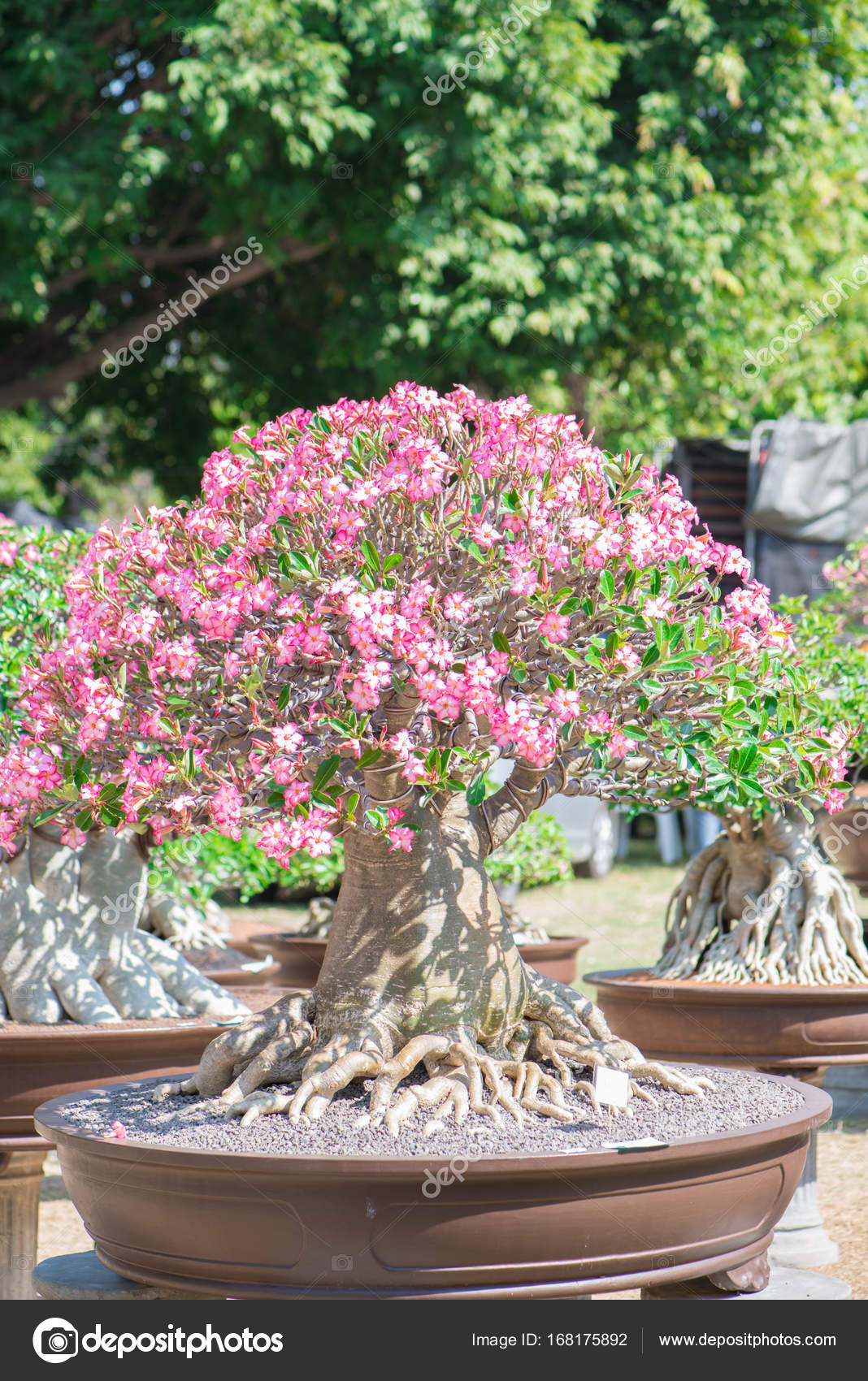 Adenium Tree Or Desert Rose In Flower Pot In Bonsai Style Stock Photo C Khuntapoldep 168175892