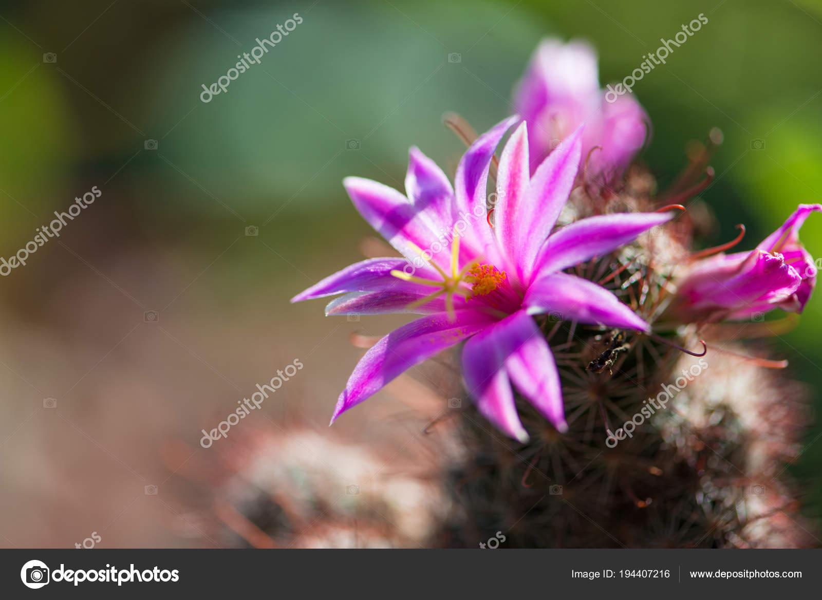 Closed Up Pink Cactus Flower In Pot Stock Photo Khuntapoldep