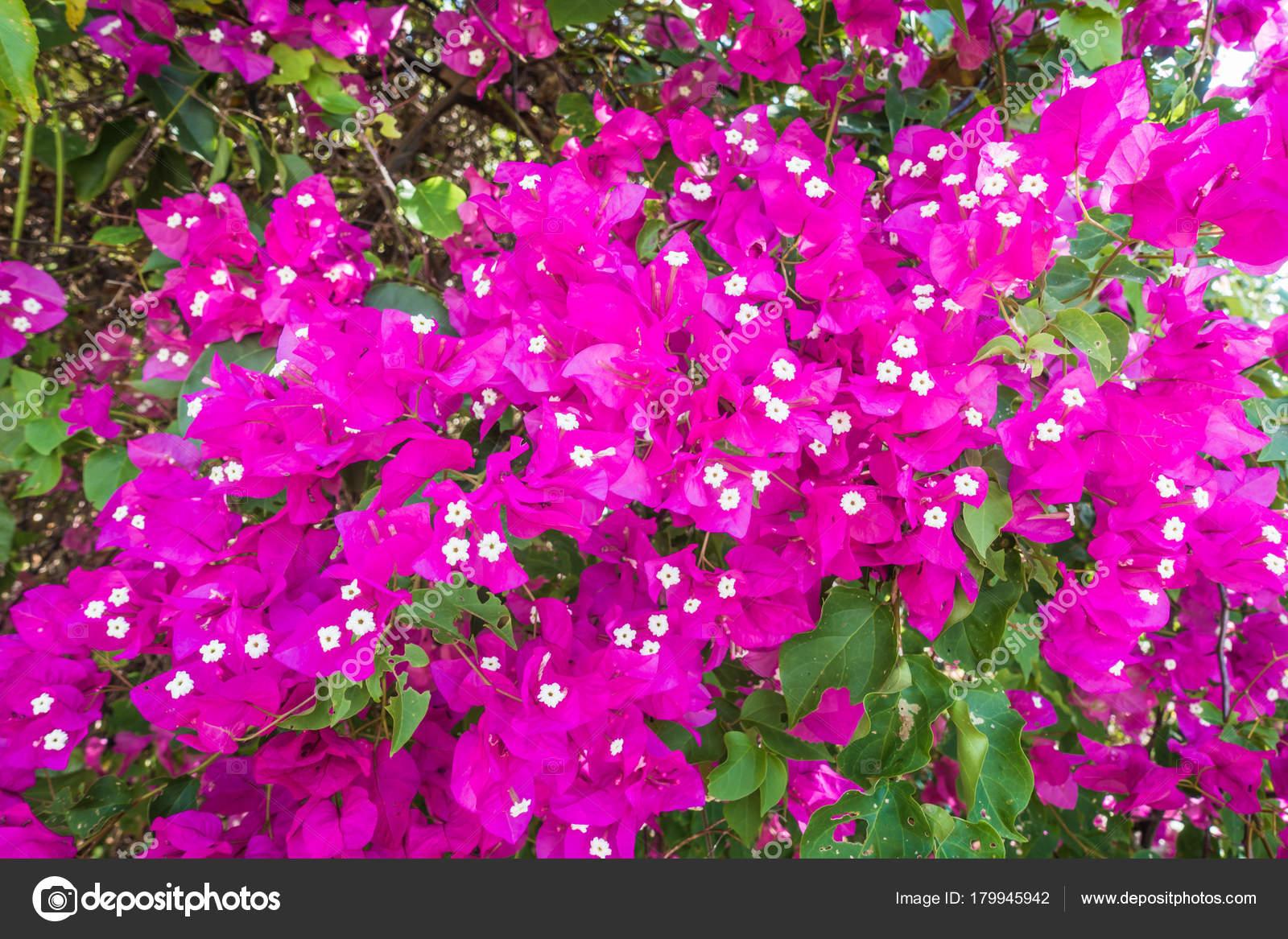 Viola fiori colorati che sbocciano bougainvillea cespuglio for Fiori che sbocciano