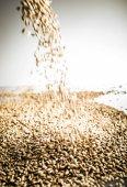 Fotografie Padající Pilsner sladové pivo obilí haldy na bílé reflexní tabulky ve studiu