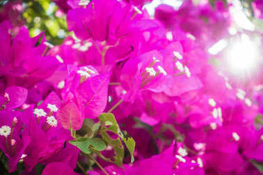 Purple colored blooming Bougainvillea flowers on a bush.