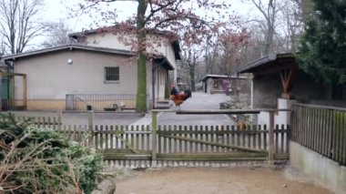 The Perched Rooster