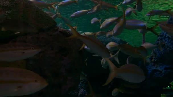 Snapper Platýs ryby zavřít