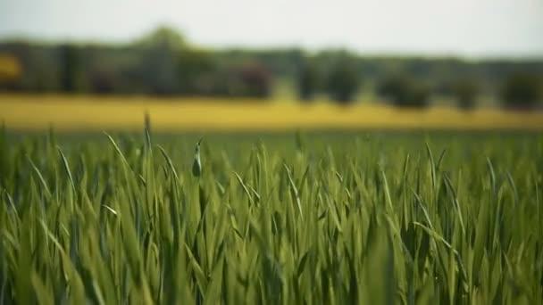 Pengék a zöld fű mező