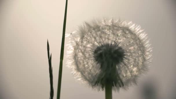 Semena pampelišky hlavou zblízka