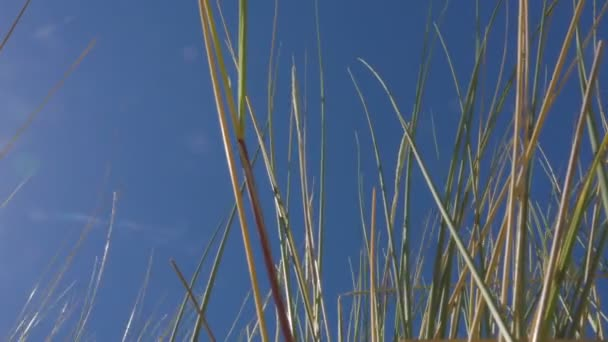 Marram trávu na plážích Zeeland