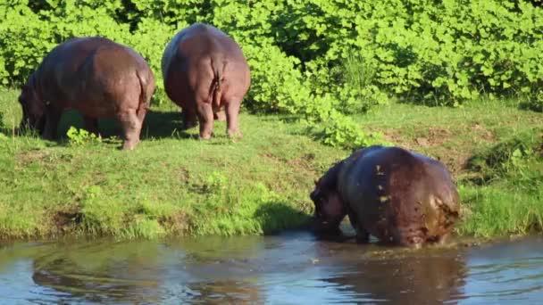 Hippos Feeding Near Water