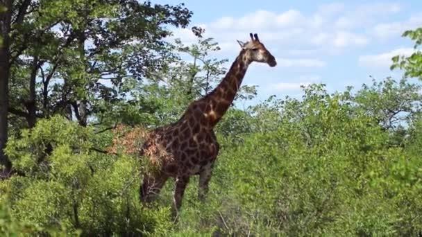 Giraffe Standing Amidst Shrubs