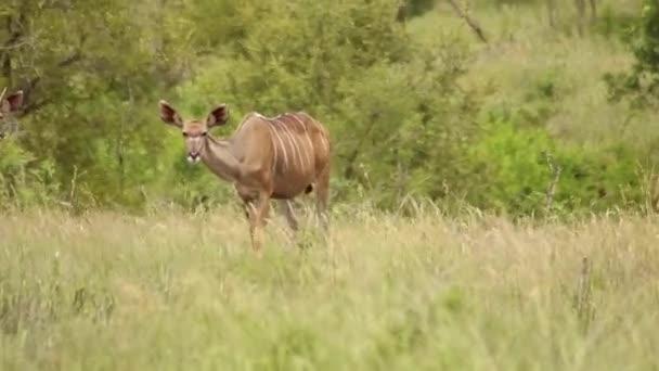 Female Kudu and Juvenile Male Feeding on Savannah Grass