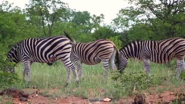 Three Zebras Eating Grass in Savannah Grassland