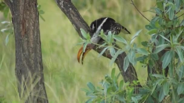 Southern Yellow-Billed Hornbill in Kruger National Park