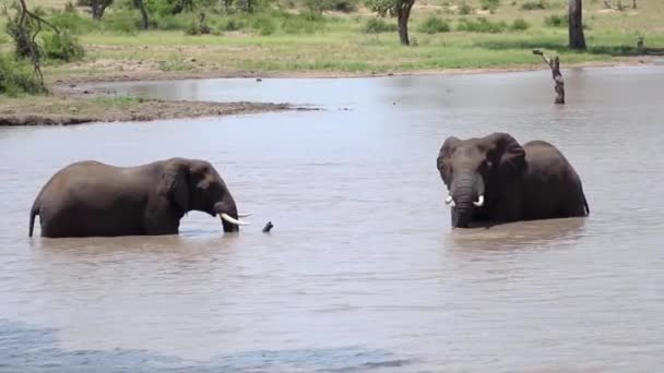 Elephants Preparing to Fight in Water