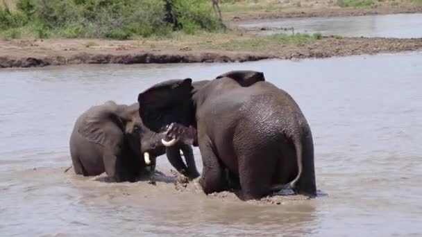 Two Elephants Fighting in Water