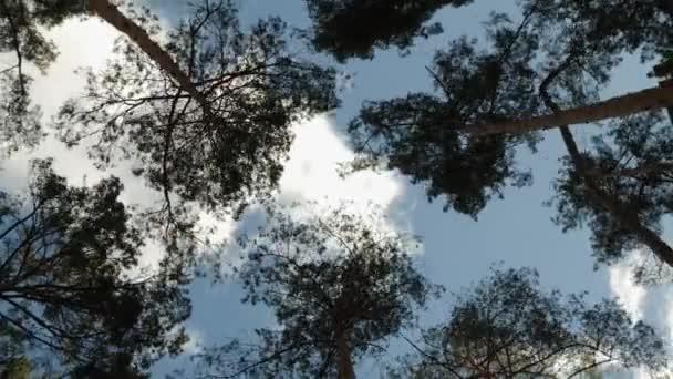 Zeitraffer von im Wind schwankenden Kiefern vor blauem Himmel mit Wolken, Ansicht von unten
